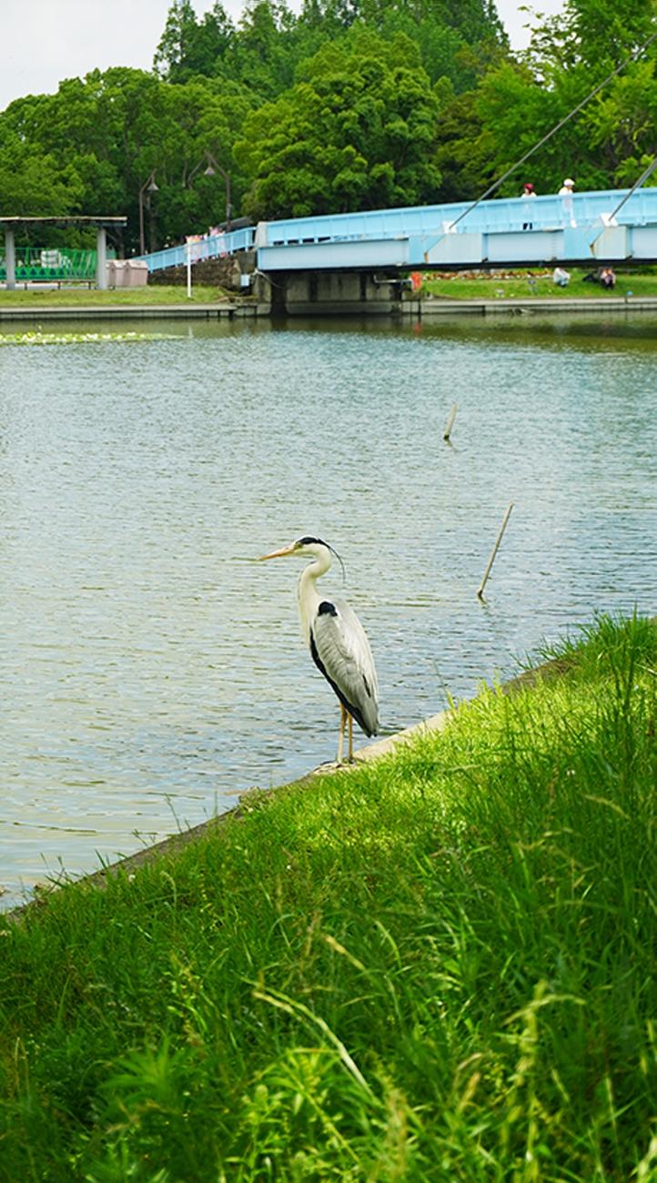 葛飾区 水元公園 釣り